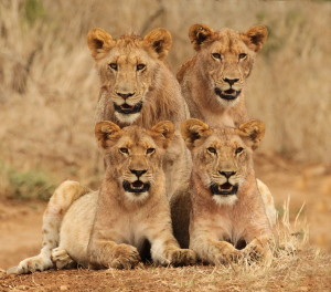 Four Young Lions