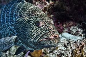 Grouper-  Jason Tucker underwater photography