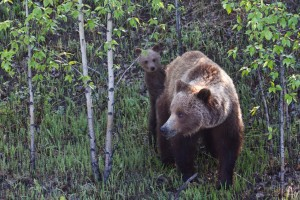 A grizzly cub peeks from behind its mother. Along the Alaska Highway in British Columbia.