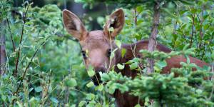 A moose calf