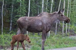 moose mom