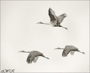 Sandhill cranes in flight are noisy birds