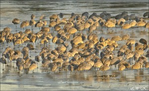 Sandhill Cranes congregate near the Hiwassee River in East Tennessee